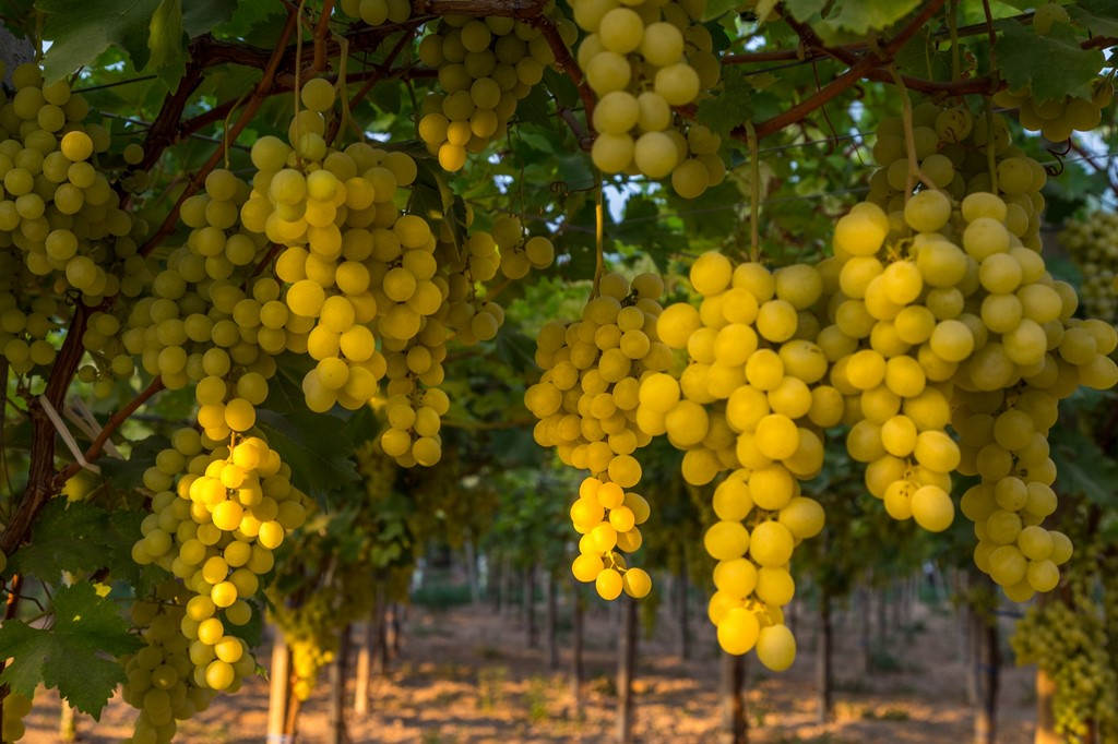 Uva da tavola italiana puglia - Uva da tavola puglia ...