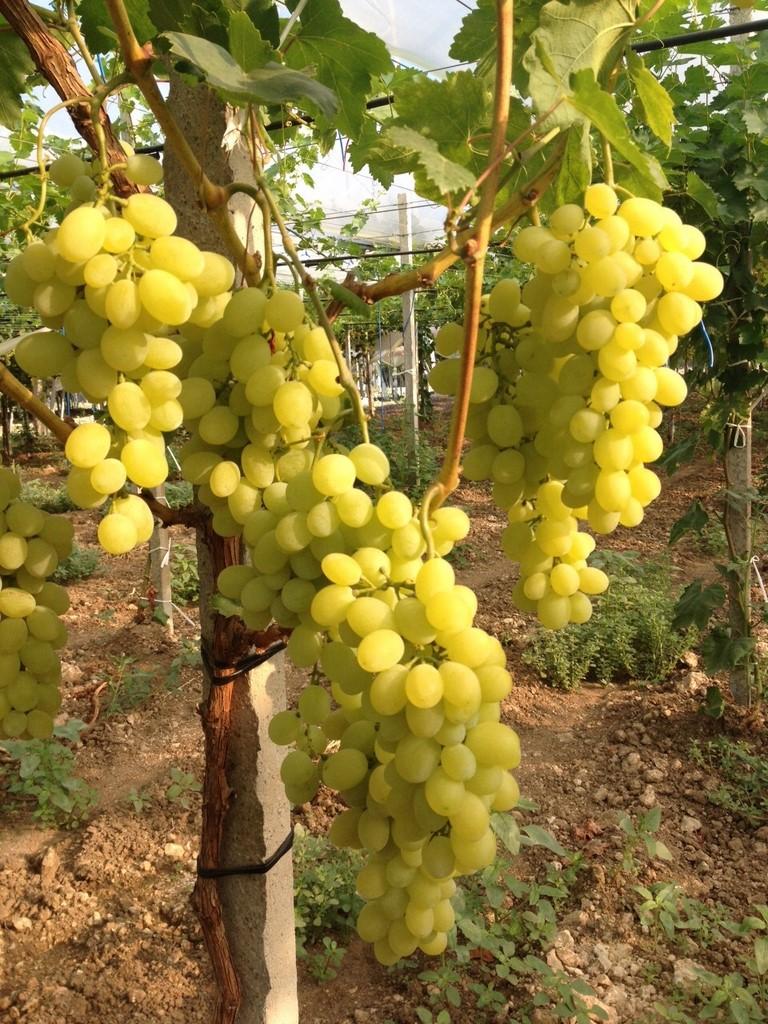 Produzione di uva pregiata da tavola azienda spronati - Uva da tavola italia ...