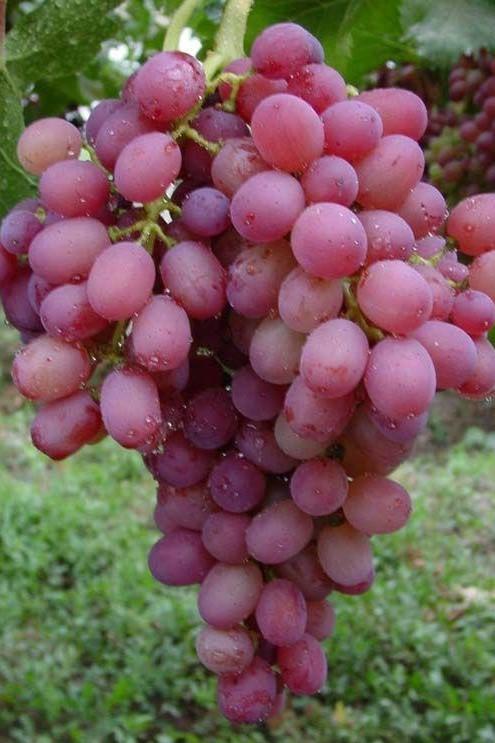 Produzione di uva pregiata da tavola azienda spronati - Uva da tavola puglia ...